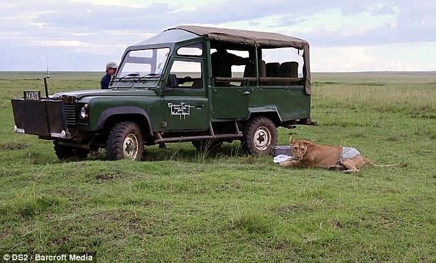 Спасение кенийской львицы после серьёзного ранения (8)