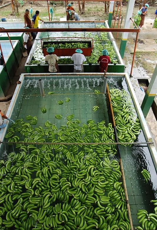 Как и где растут бананы, как их собирают (9)