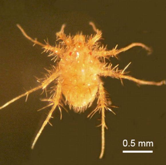 Калифорнийский клещ — самое быстрое существо на планете Paratarsotomus