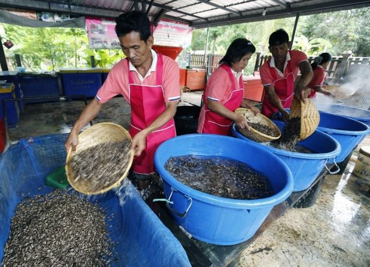 Как в Таиланде разводят съедобных насекомых (3)