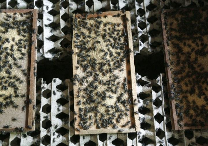 Как в Таиланде разводят съедобных насекомых (5)