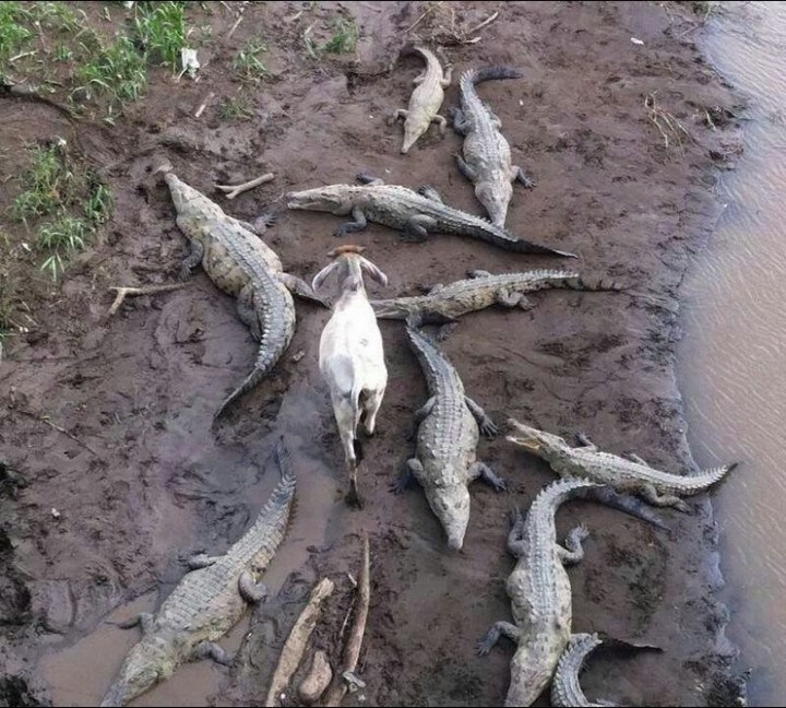 Козел идет среди крокодилов