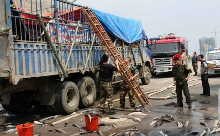 В Китае из грузовика выпало семь тонн рыбы (2)
