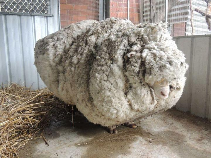 С заросшей австралийской овцы состригли шерсти на 30 свитеров (3)