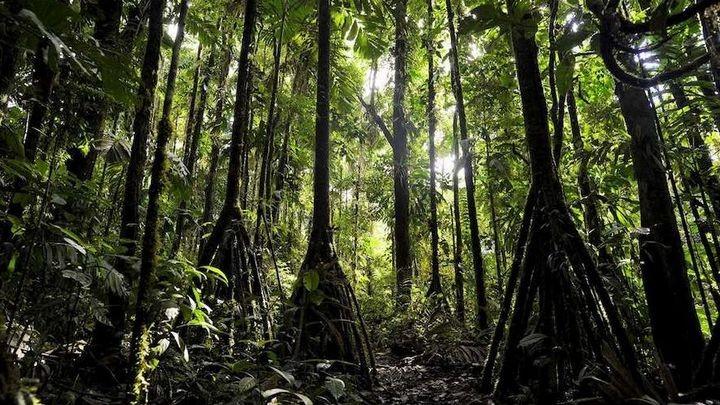 Ходячие деревья, которые способны преодолевать расстояние до 20 метров в год (1)