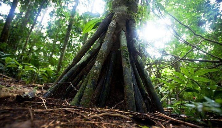 Ходячие деревья, которые способны преодолевать расстояние до 20 метров в год (2)