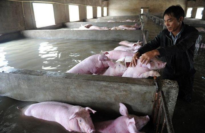 Фермер из Китая вынужден оставить умирать 6000 своих свиней из-за наводнения (1)