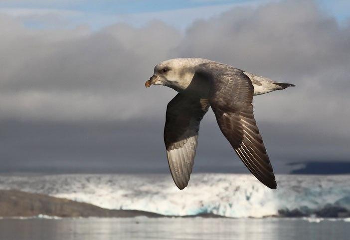 Арктический остров является пристанищем для 400.000 гнездящихся птиц (3)