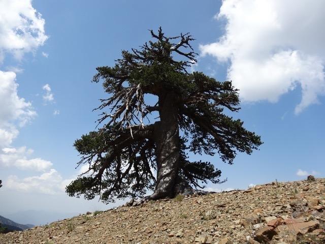 Учёные нашли старейшее дерево в Европе, которому 1075 лет (1)