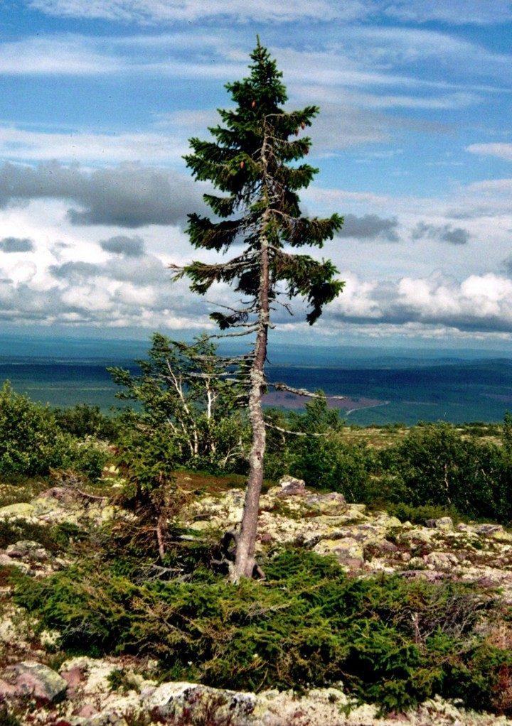 Учёные нашли старейшее дерево в Европе, которому 1075 лет (3)