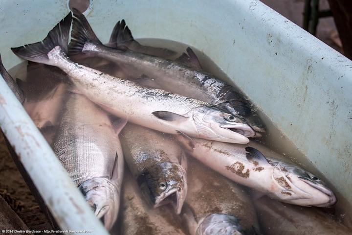 Рыбалка по Чукотски (5)