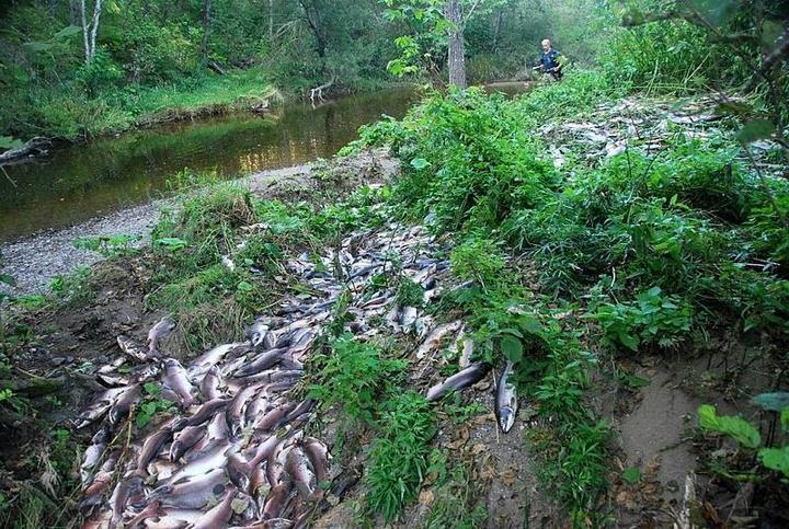 Берега сахалинских рек после нереста лососевых (3)
