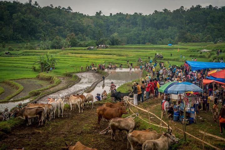 Традиционные гонки на быках в Индонезии (1)