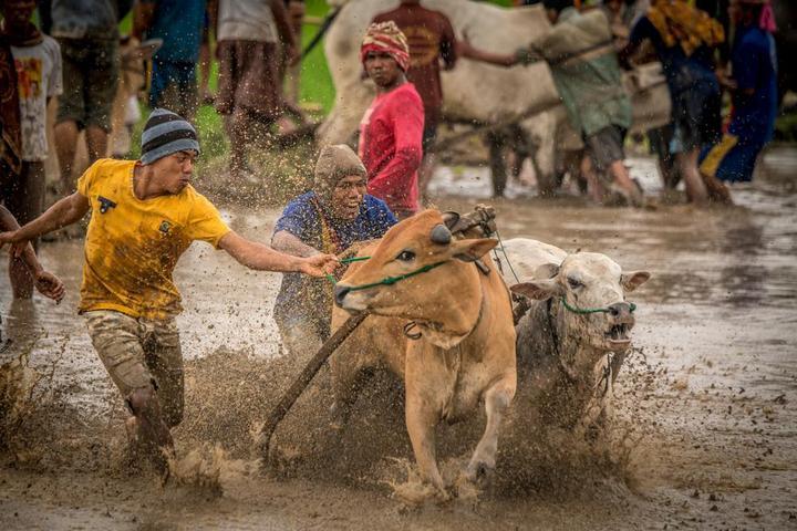 Традиционные гонки на быках в Индонезии (7)