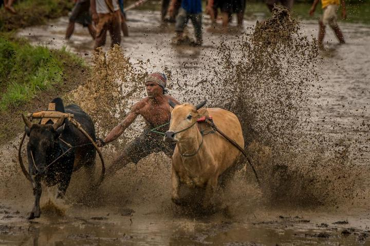 Традиционные гонки на быках в Индонезии (9)