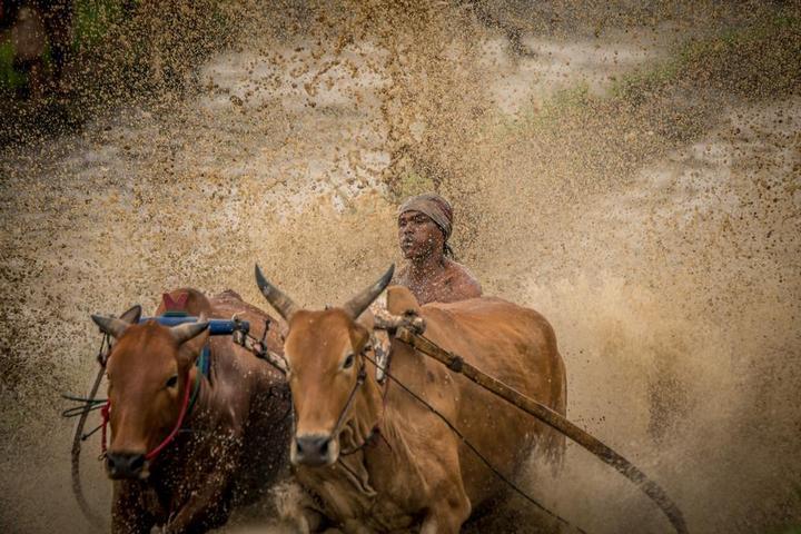 Традиционные гонки на быках в Индонезии (10)