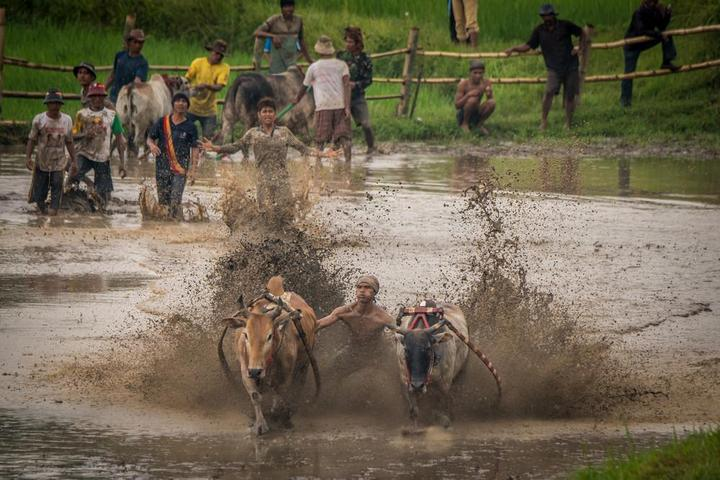 Традиционные гонки на быках в Индонезии (11)