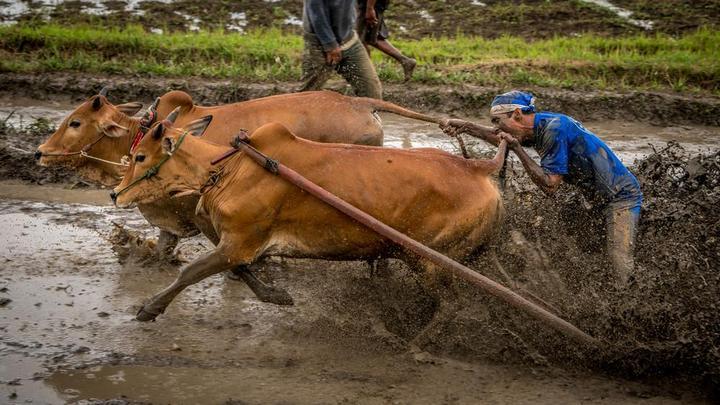 Традиционные гонки на быках в Индонезии (13)