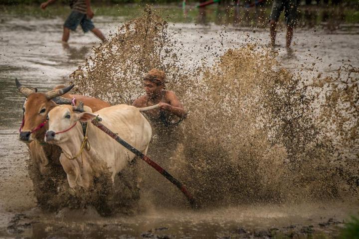 Традиционные гонки на быках в Индонезии (14)