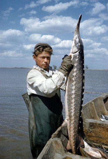 Добыча чёрной икры в Астрахани в 1960-м году (3)