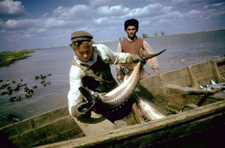 Добыча чёрной икры в Астрахани в 1960-м году (4)