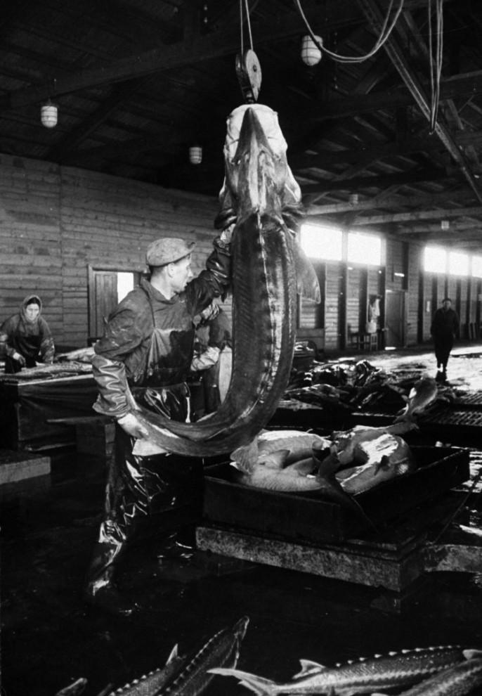 Добыча чёрной икры в Астрахани в 1960-м году (7)