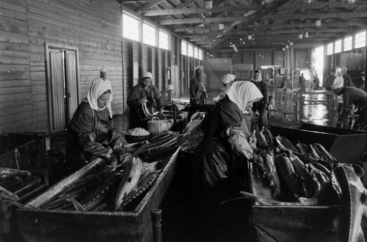 Добыча чёрной икры в Астрахани в 1960-м году (8)