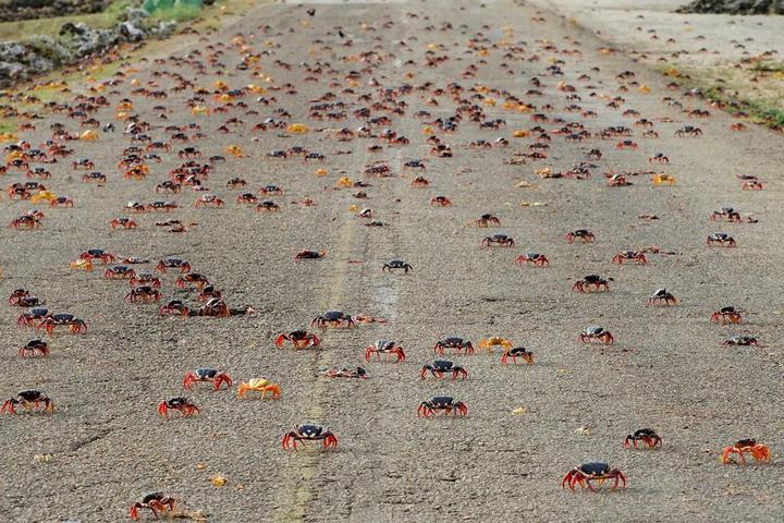 На Кубе началась сезонная миграция крабов (12)