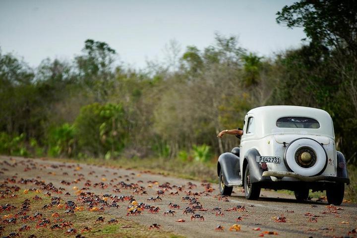 На Кубе началась сезонная миграция крабов (15)