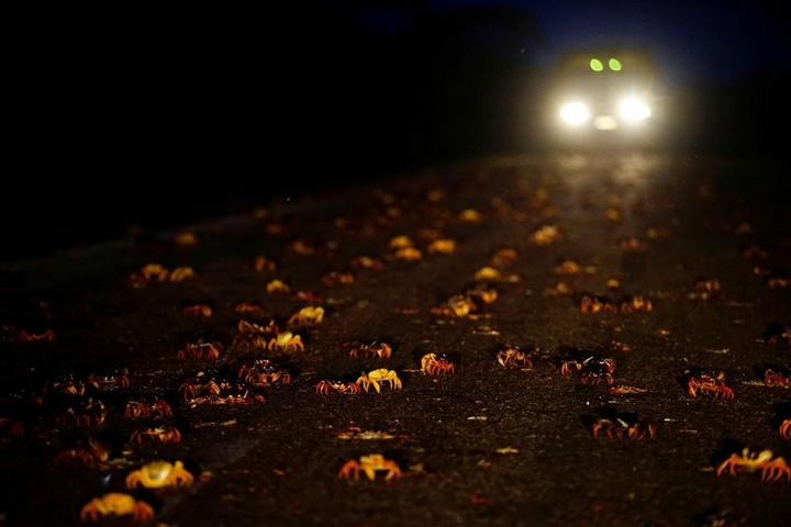 На Кубе началась сезонная миграция крабов (3)