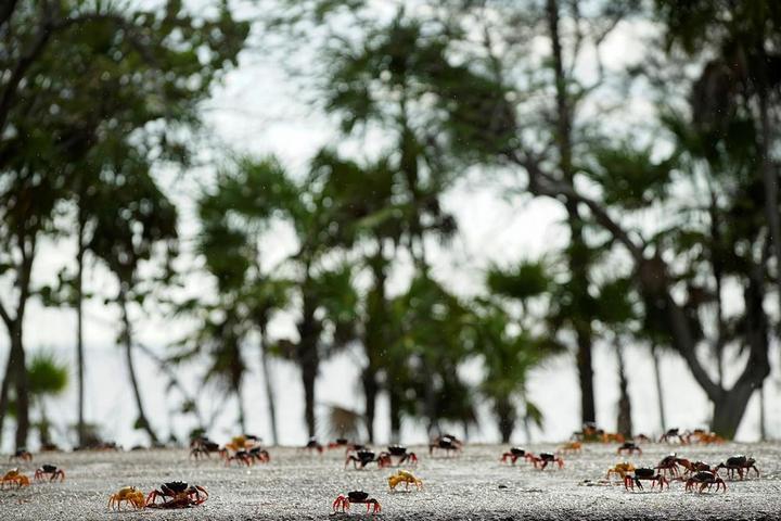 На Кубе началась сезонная миграция крабов (7)