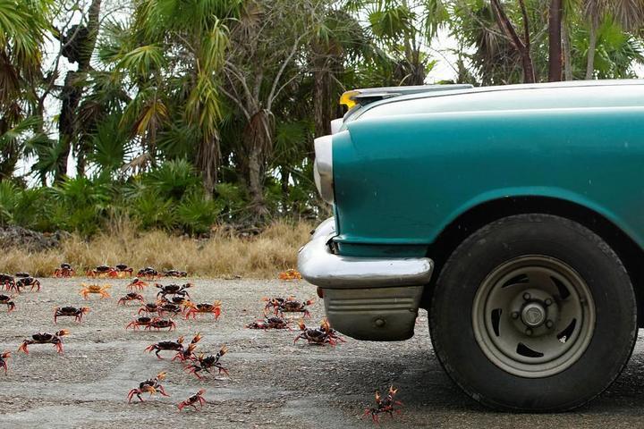 На Кубе началась сезонная миграция крабов (8)