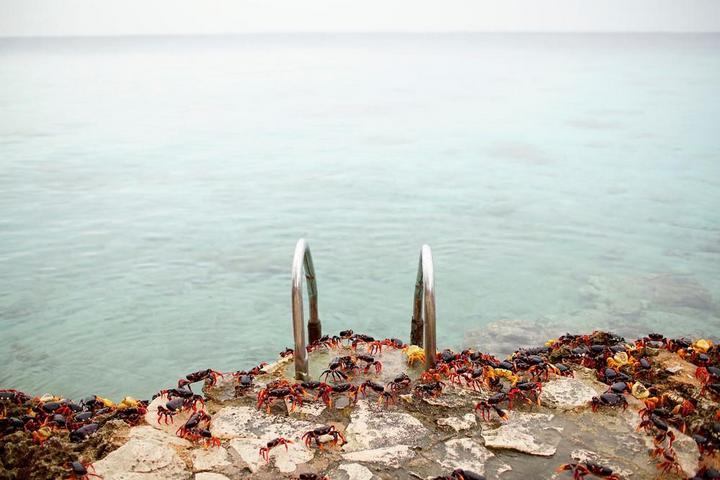 На Кубе началась сезонная миграция крабов (9)