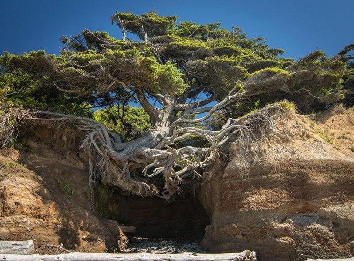 """10 """"крутых"""" деревьев, которые отказались умирать (1)"""