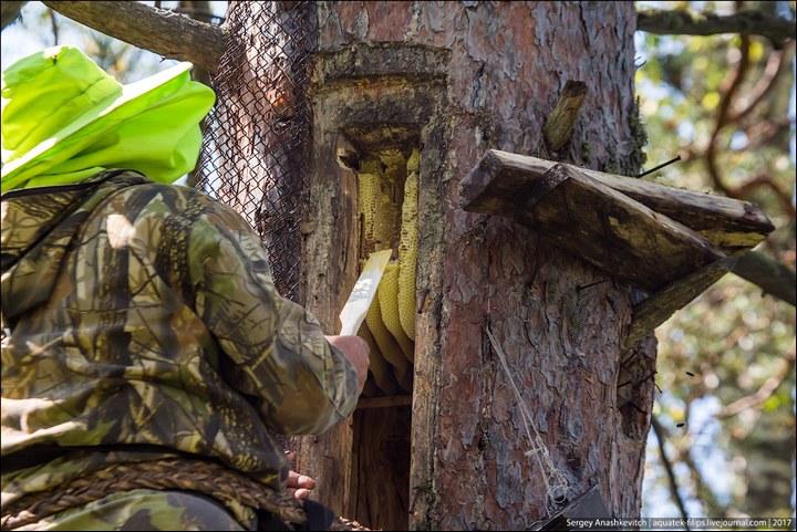 Как в Башкирии добывают мед диких пчел (12)