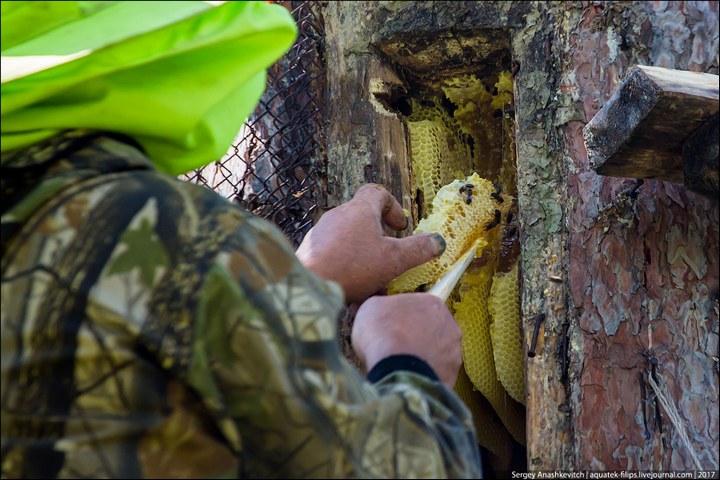 Как в Башкирии добывают мед диких пчел (13)