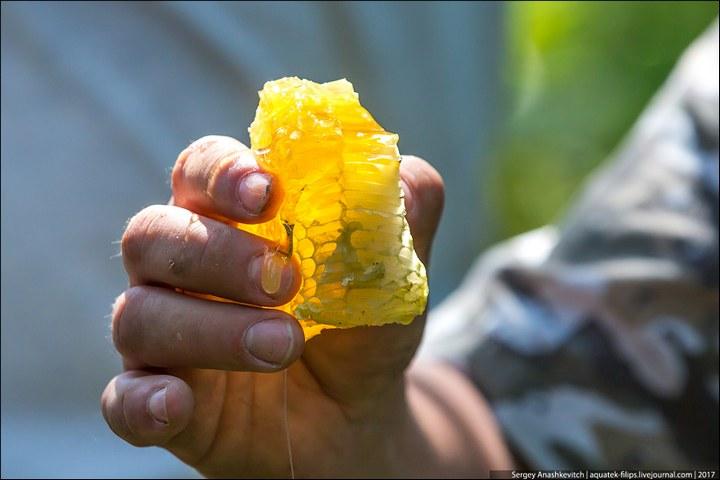 Как в Башкирии добывают мед диких пчел (15)