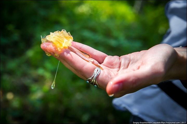 Как в Башкирии добывают мед диких пчел (17)