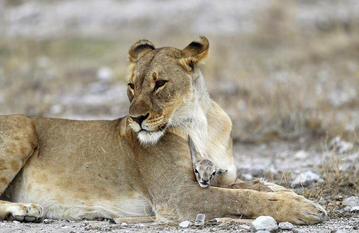 У львицы проснулся материнский инстинкт к жертве (5)