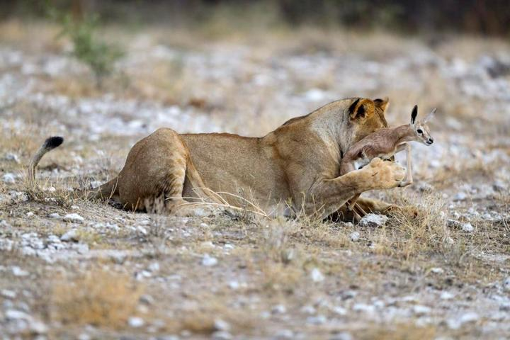 У львицы проснулся материнский инстинкт к жертве (7)