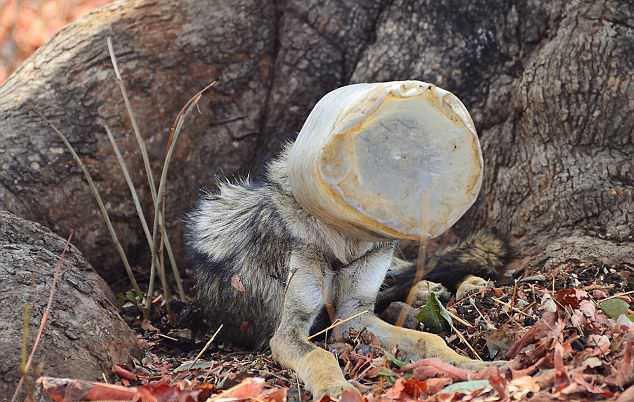 волк с бутылкой на голове (2)