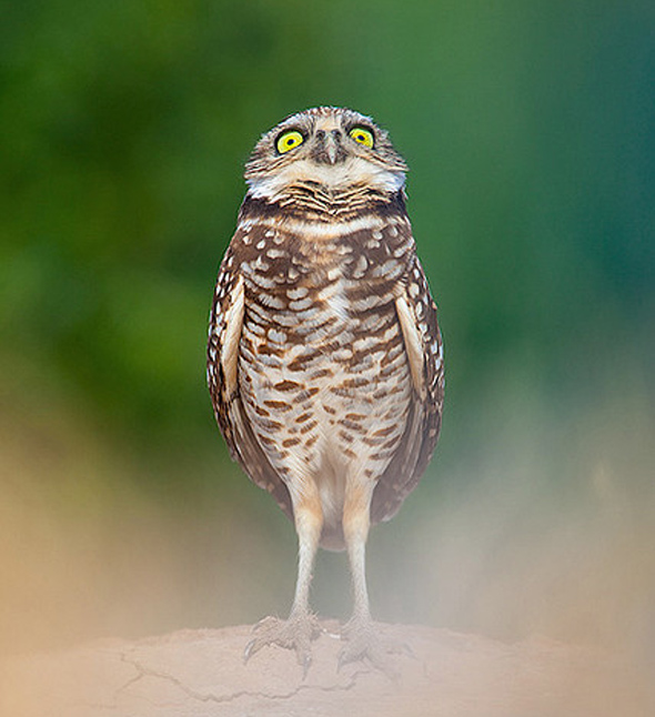 прикольные фотографии совы (3)