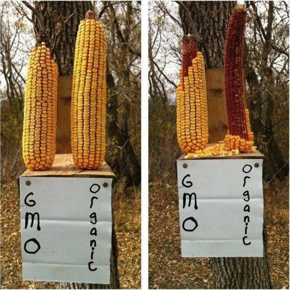 Эксперимент с ГМО кукурузой