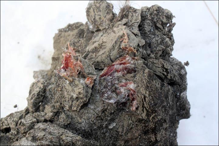 Первый образец крови 10000 летнего мамонта, уникальная находка палеонтологов, хорошо сохранившийся мамонт (4)