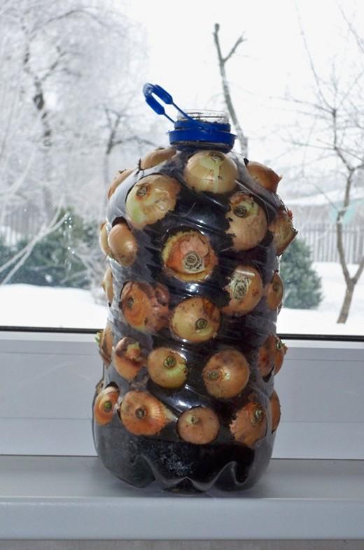 Выращиваем зеленый лук в пятилитровой пластиковой бутылке (2)