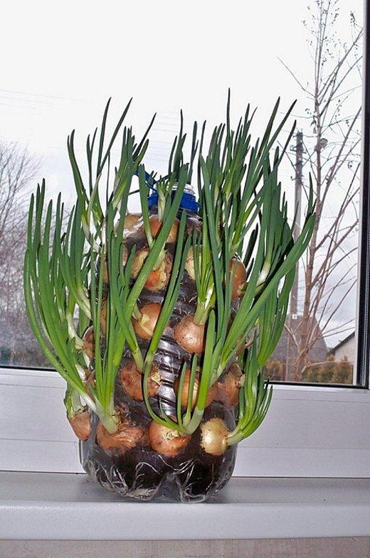 Выращиваем зеленый лук в пятилитровой пластиковой бутылке (1)