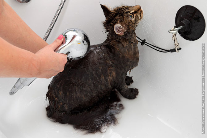 Как нужно правильно мыть кошку, как помыть кошку (7)
