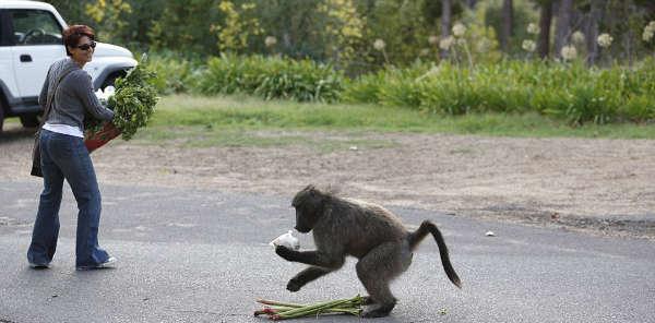 Наглые обезьяны воришки на улицах Кейптауна (11)