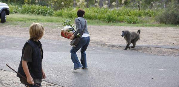 Наглые обезьяны воришки на улицах Кейптауна (12)