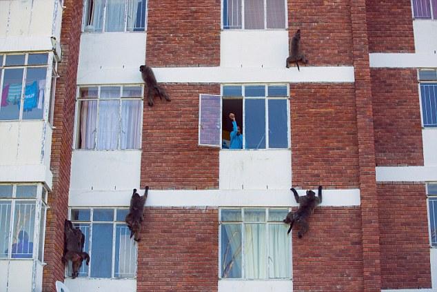 Наглые обезьяны воришки на улицах Кейптауна (4)